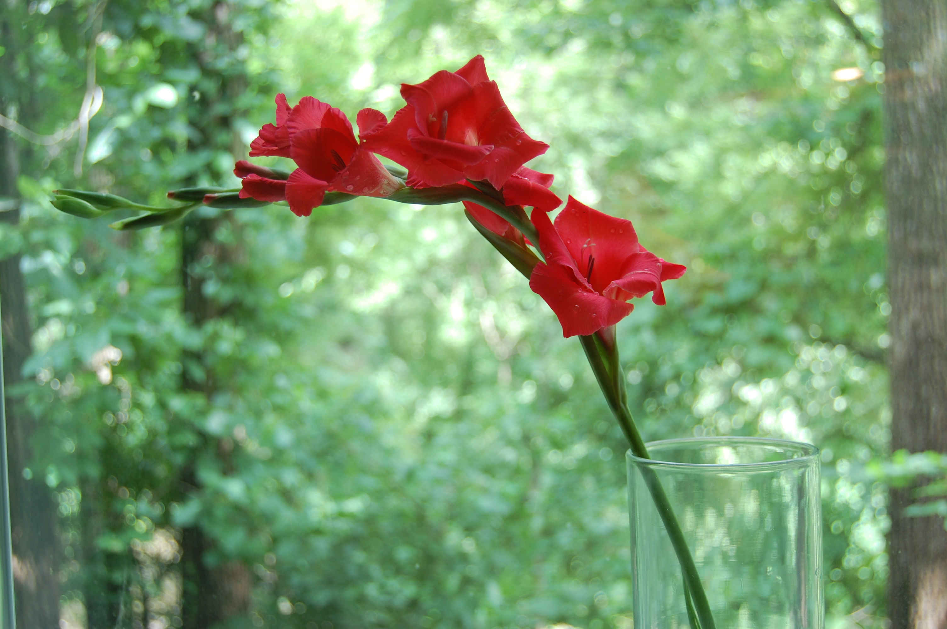 The Gladiolus Project - Red Gladiolus from the Garden