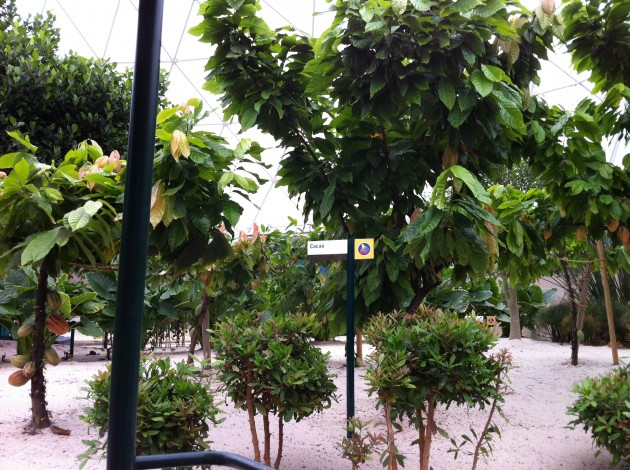 Cacao Growing in the Epcot Living with the Land Greenhouse