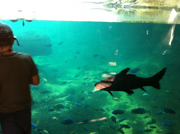 Giant African Fish
