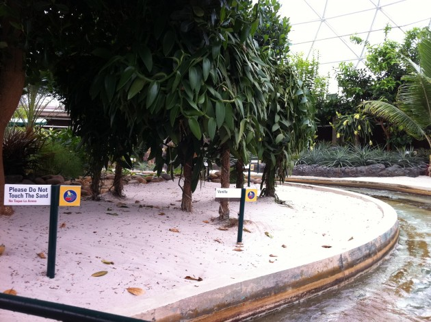 Vanilla Growing in the Epcot Living with the Land Greenhouse