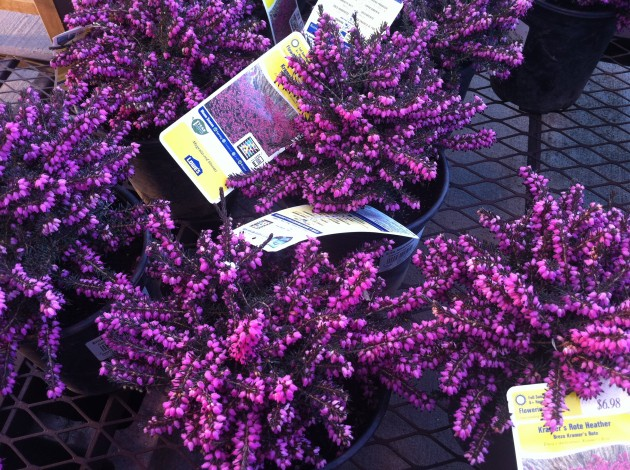 Kramer's Rote Heather Flowers