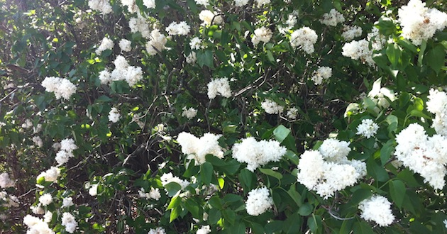 White Lilac Bushes