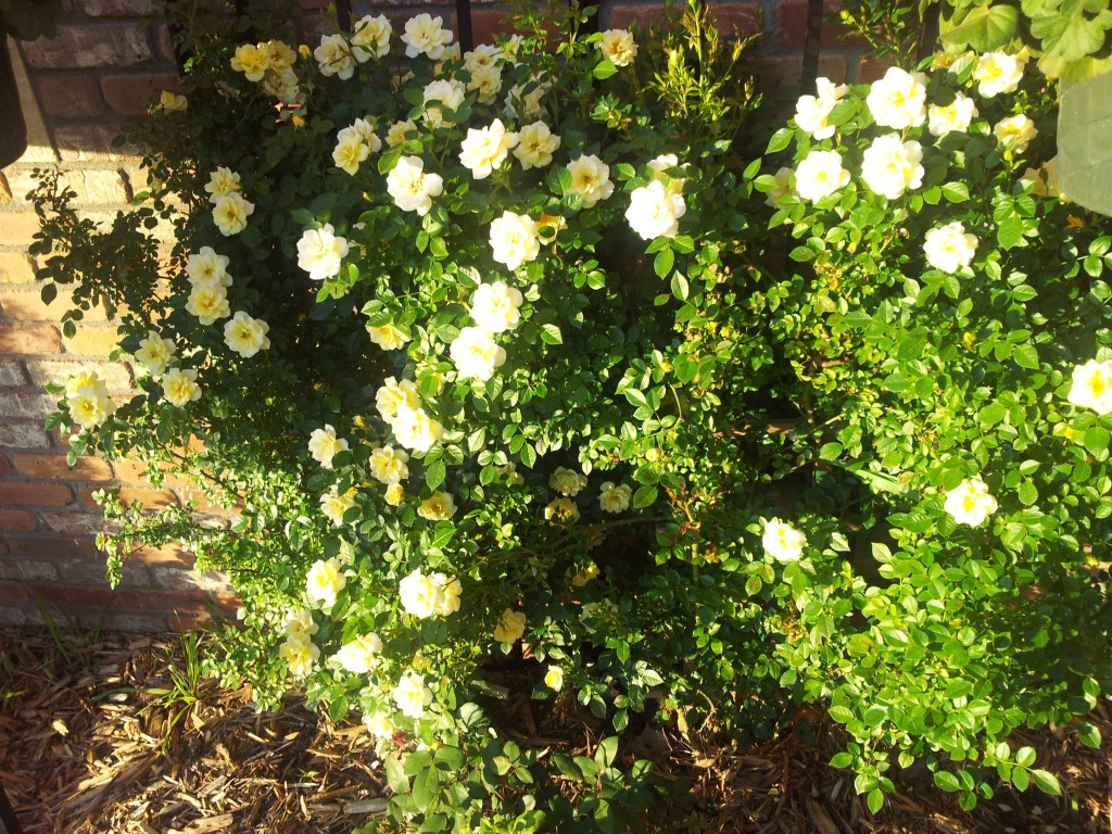 Yellow Canary Rose Bushes
