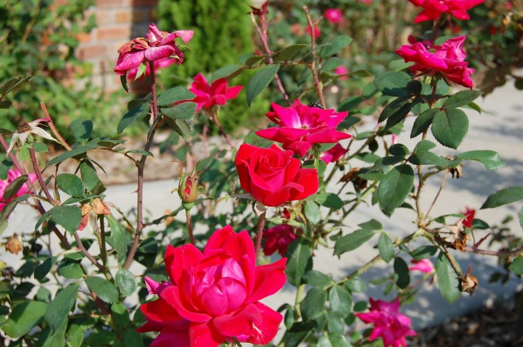 Deep Pink Roses Joshua Kennon