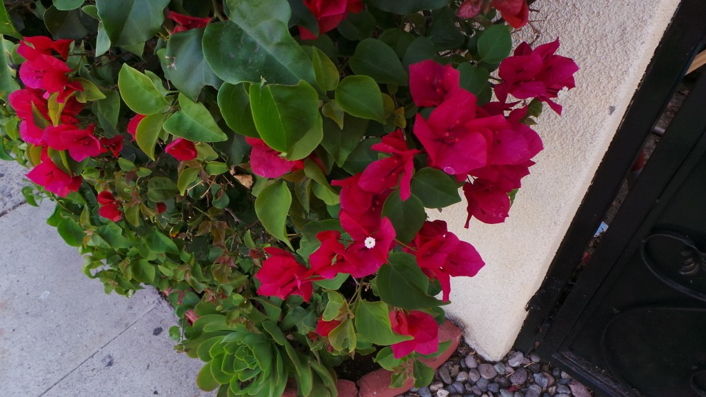 Beautiful Red Flowers Covering Holiday Inn Laguna Beach