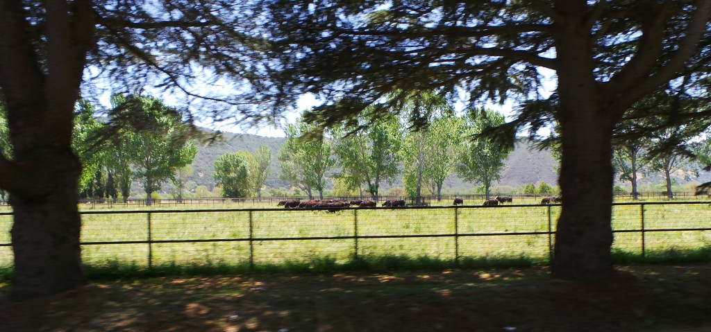 Cattle Farm Outside Buellton