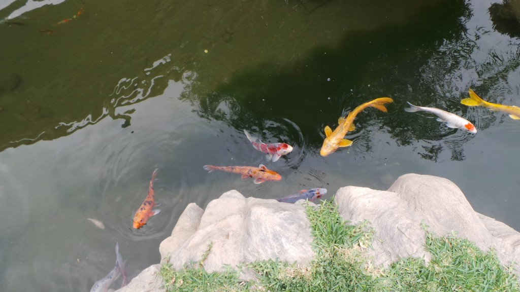 Fish in the Japanese Garden Huntington Pasadena