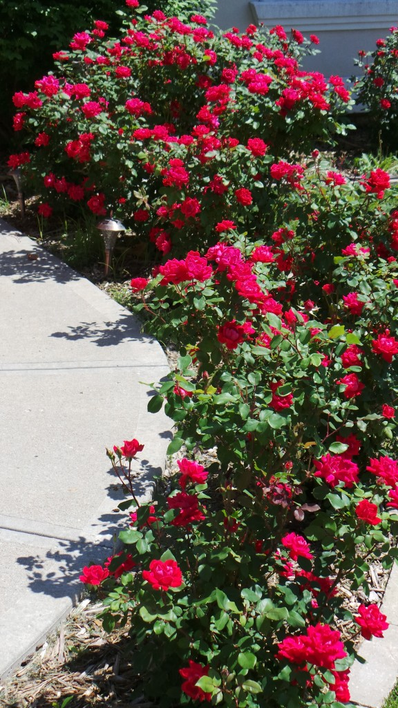 Joshua Kennon Roses Year Two Sidewalk