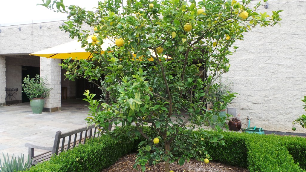 Lemon Trees Pasadena