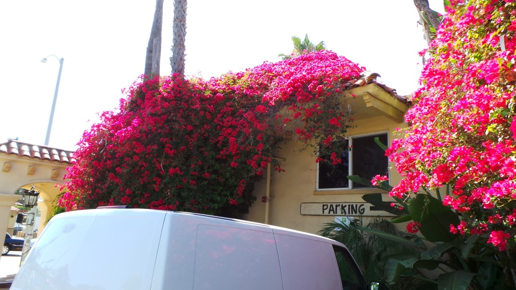 Red Vine Flowers Holiday Inn Laguna Beach