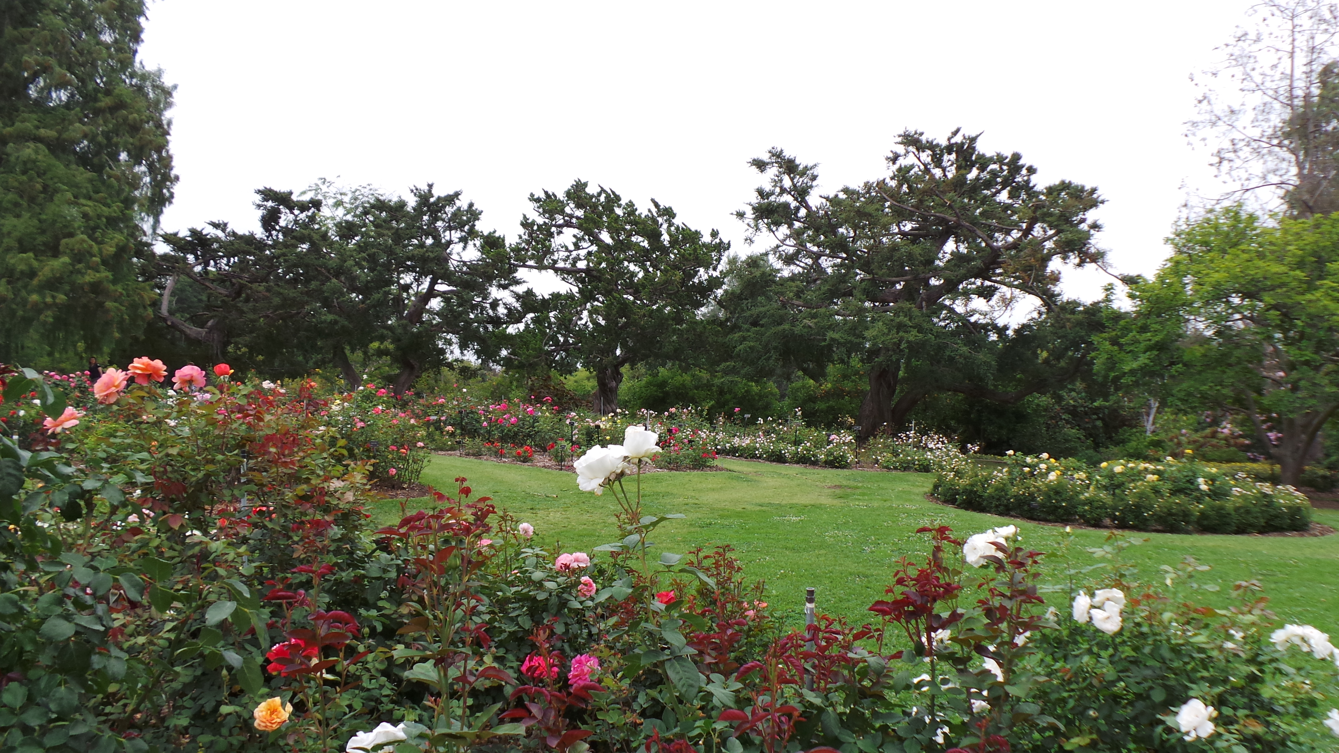 Roses In Garden: The Huntington Library, Art Collections And Botanical