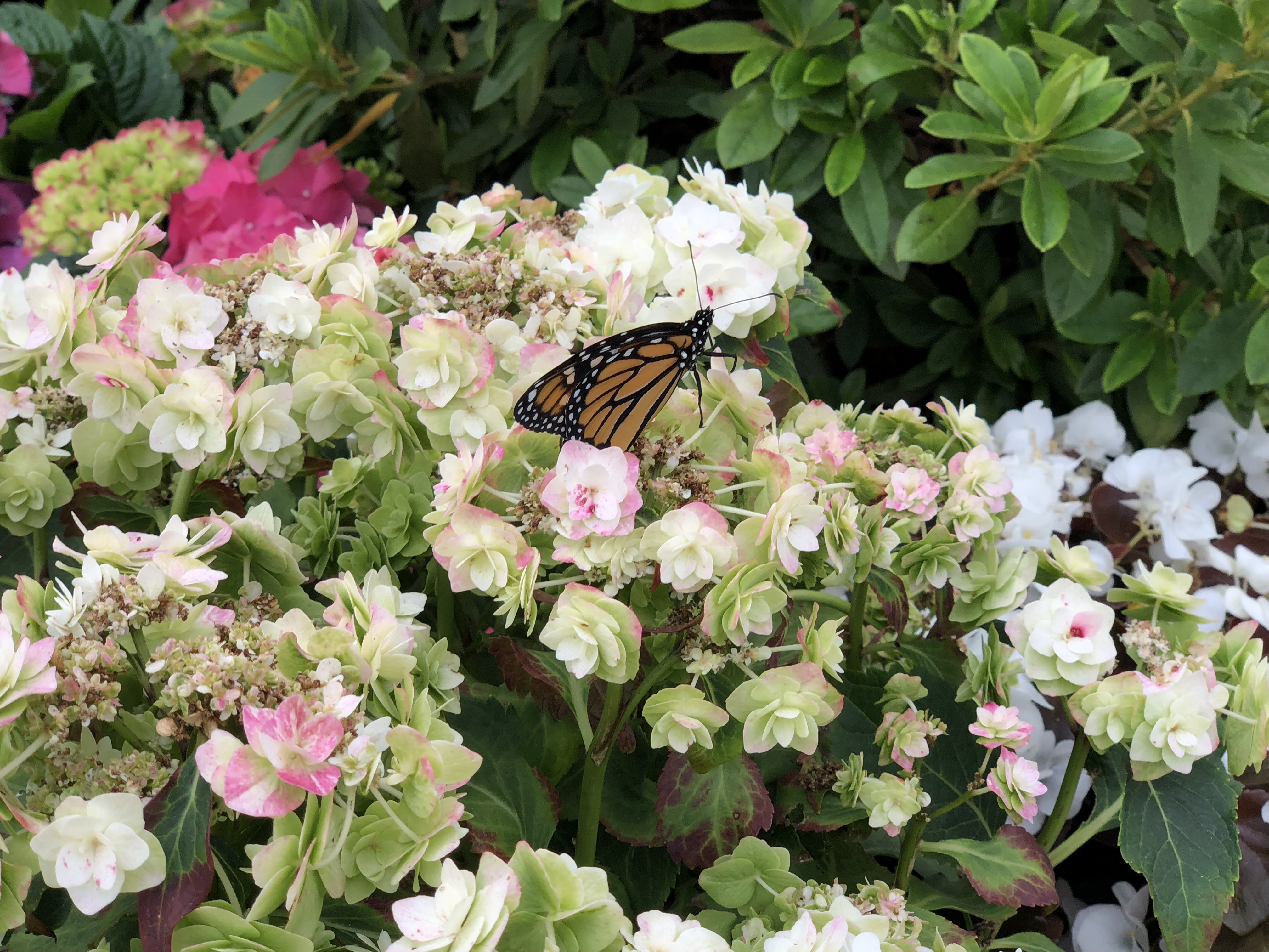 Armstrong's Garden Centers Newport Beach - Monarch Butterfly Closeup