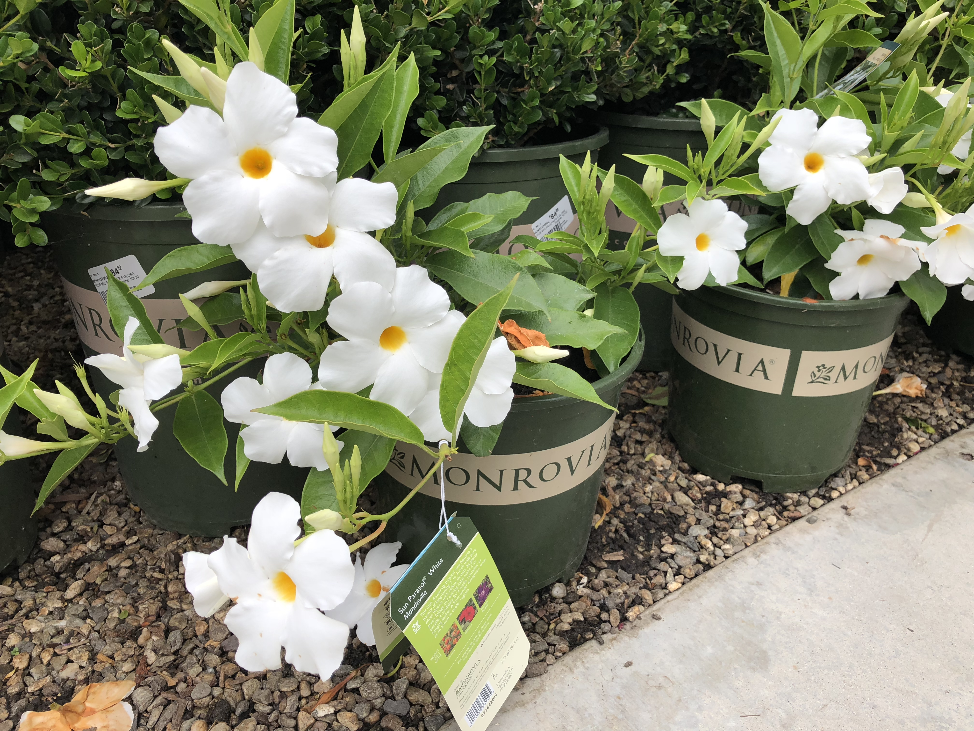 Armstrong's Garden Centers Newport Beach White and Yellow Flowers