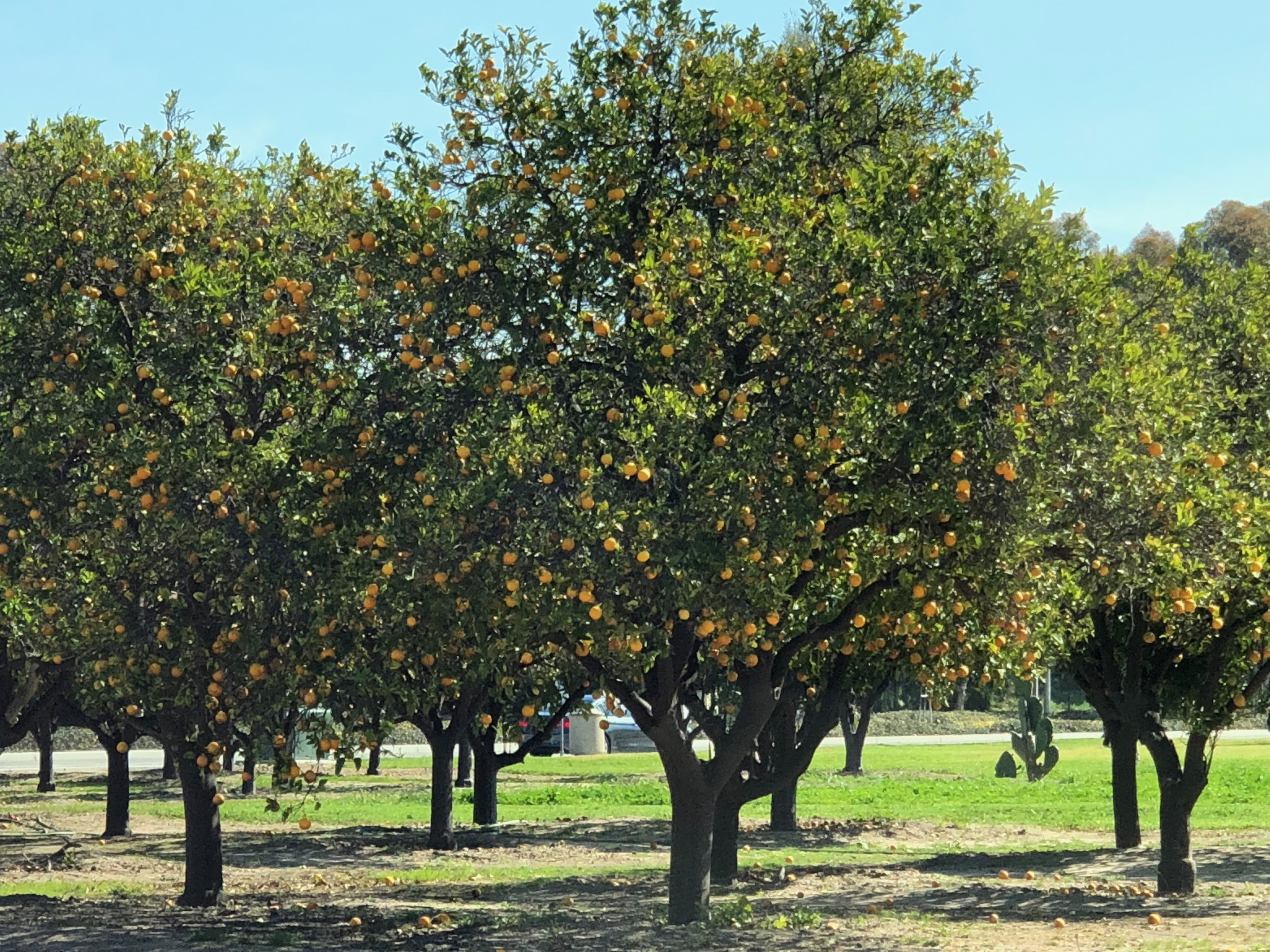 Citrus Trees on the Side of the Street