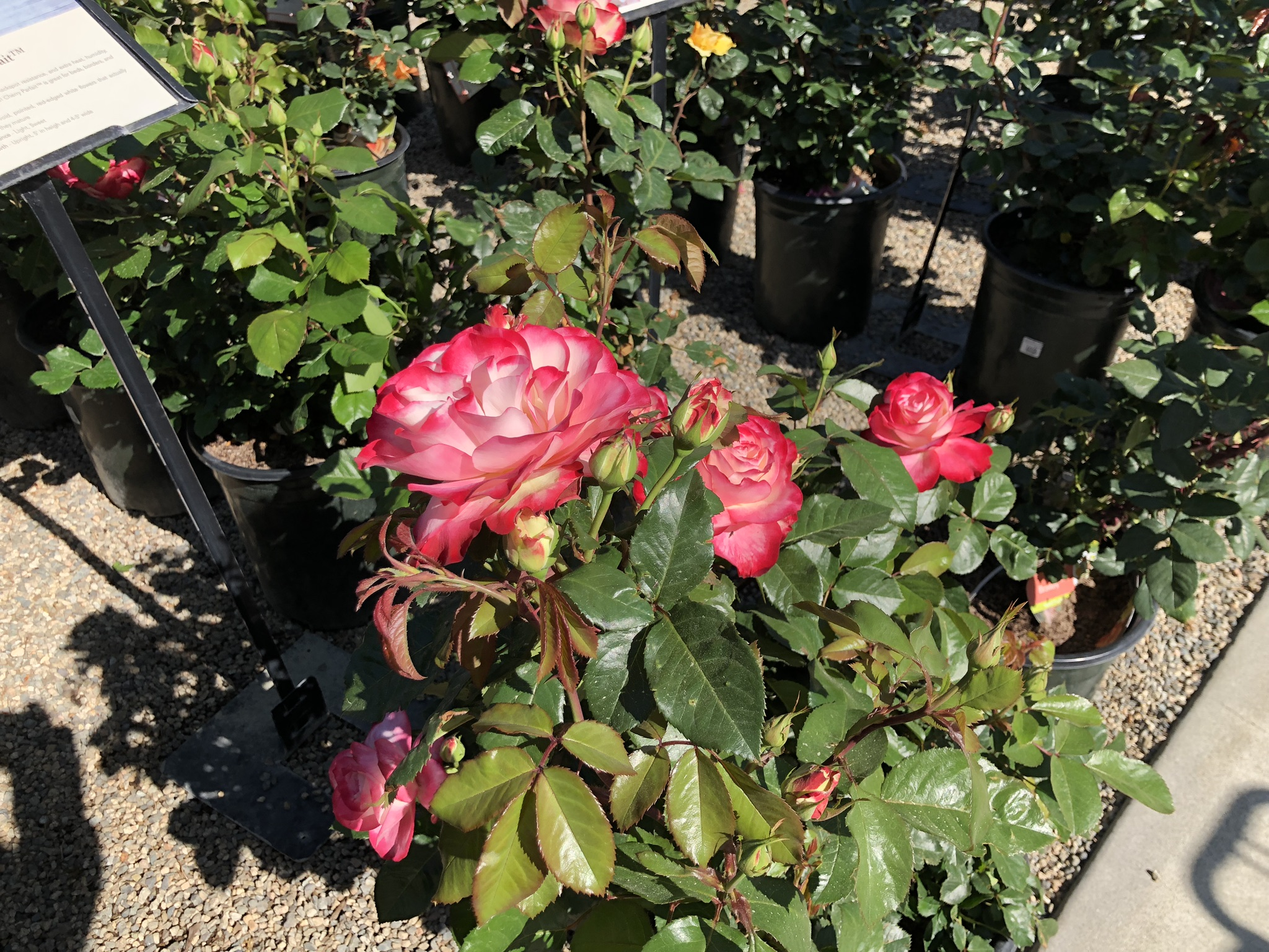 Cherry Parfait Roses in Newport Beach